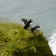 Puffins On The Edge Of a Cliff. Iceland - VideoHive Item for Sale