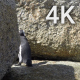 Penguin Between Rocks - VideoHive Item for Sale