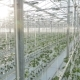 Big Industrial Greenhouse, Rows Of Vegetables. - VideoHive Item for Sale