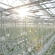 Long Rows Of Green Plants In a Huge Glasshouse. - VideoHive Item for Sale