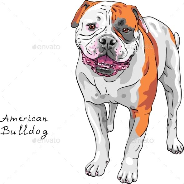 Dog American Bulldog Breed - Animals Characters