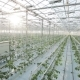Rows Of Plants In a Big Greenhouse - VideoHive Item for Sale