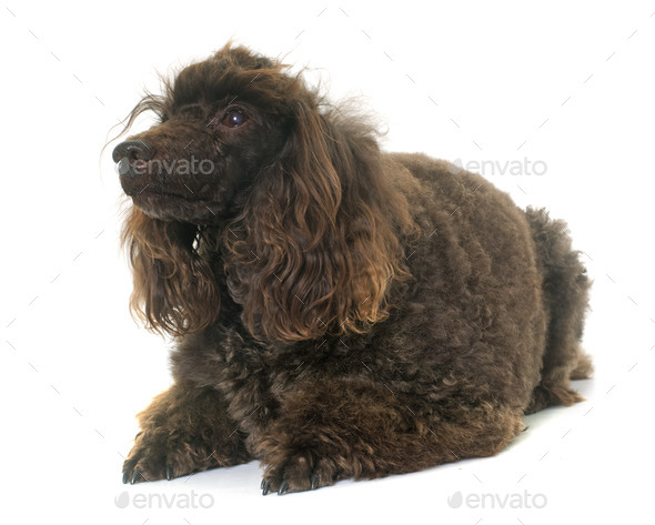poodle in studio - Stock Photo - Images