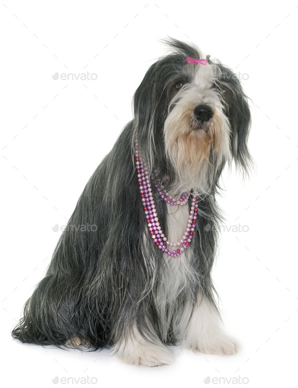 female bearded collie - Stock Photo - Images
