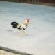 Tropical Cock Walking On Asphalt Road - VideoHive Item for Sale