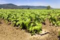 green leaf of organic basil in a field - PhotoDune Item for Sale