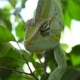 Chameleon On a Tree Branch - VideoHive Item for Sale