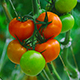 Tomatoes - VideoHive Item for Sale