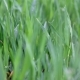 Fresh Green Spring Grass Lawn . - VideoHive Item for Sale