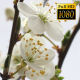 Beautiful Cherry Blossom 21 - VideoHive Item for Sale
