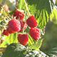 Raspberries - VideoHive Item for Sale