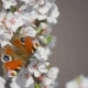 Butterfly On The Blooming Cherry 2 - VideoHive Item for Sale