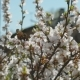 Blooming Nanking Cherry In Garden 3 - VideoHive Item for Sale