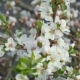 Blooming Nanking Cherry In Garden 1 - VideoHive Item for Sale