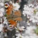 Butterfly On The Blooming Cherry 1 - VideoHive Item for Sale