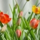 Tulips In Garden - VideoHive Item for Sale