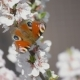 Butterfly On The Blooming Cherry 3 - VideoHive Item for Sale