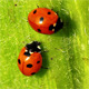 Ladybugs - VideoHive Item for Sale