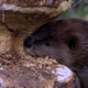 Beaver Chewing Tree 2 - VideoHive Item for Sale