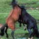 Wild Horses Fighting - VideoHive Item for Sale