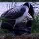 Loons Mating - VideoHive Item for Sale
