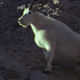 Mountain Goat on a Steep Slope 2 - VideoHive Item for Sale