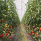Tomato Cultivation - VideoHive Item for Sale