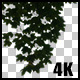 Real Acer Tree Hanging Branch - VideoHive Item for Sale