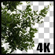 Real Oak Tree with Alpha Channel - VideoHive Item for Sale