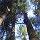 Tall Trees - VideoHive Item for Sale