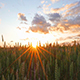 Wheat Field and Sunset - VideoHive Item for Sale