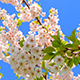 Flowers of Japanese Sakura Against the Blue Sky - VideoHive Item for Sale