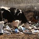 Cows Eating Garbage - VideoHive Item for Sale