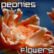 Peonies Flowers in Summer Garden - VideoHive Item for Sale