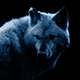 Wolf In Dramatic Moonlight - VideoHive Item for Sale