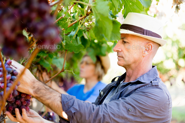 Man in vineyard - Stock Photo - Images