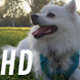 White Dog Lying on Grass in Park (2 Shots) - VideoHive Item for Sale