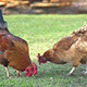 Chickens On A Countryside Farm - VideoHive Item for Sale