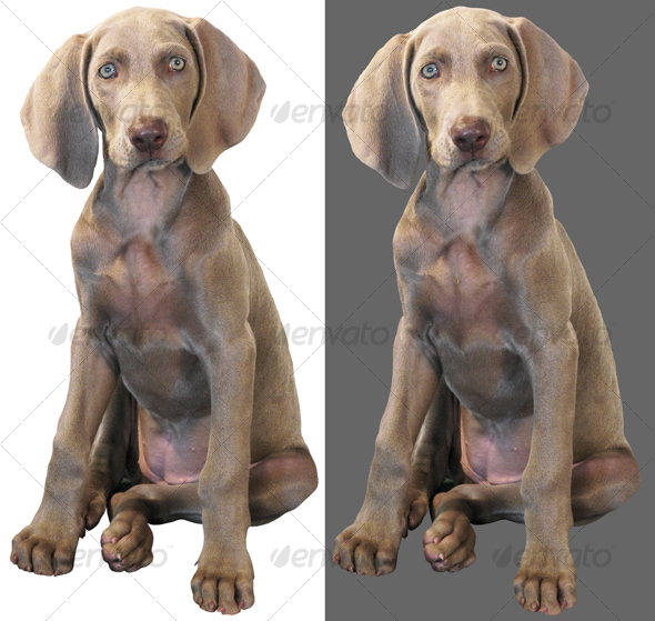 Weimaraner 02 - Nature & Animals Isolated Objects