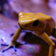 Golden Poison Arrow Frog - VideoHive Item for Sale