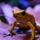 Golden Poison Dart Frog - VideoHive Item for Sale