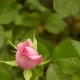 The Pink Rose. Bud On The Bush - VideoHive Item for Sale