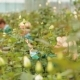 The Cultivation And Care Of Dutch Roses - VideoHive Item for Sale