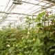 The Cultivation Of Roses In Greenhouses - VideoHive Item for Sale