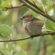 House Sparrow Sitting On A Branch And Fly Away - VideoHive Item for Sale