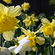 Daffodils - Tracking Shot - VideoHive Item for Sale