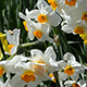 White Daffodils - Tilt Up - VideoHive Item for Sale