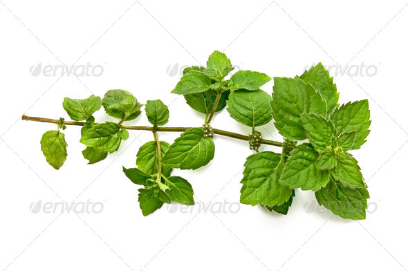 A green sprig of mint - Stock Photo - Images