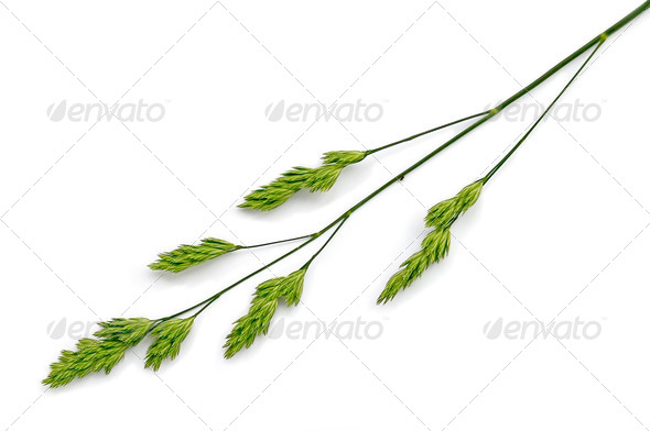 Panicle weed - Stock Photo - Images