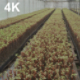 Inside The Greenhouse With Grape Seedlings - VideoHive Item for Sale